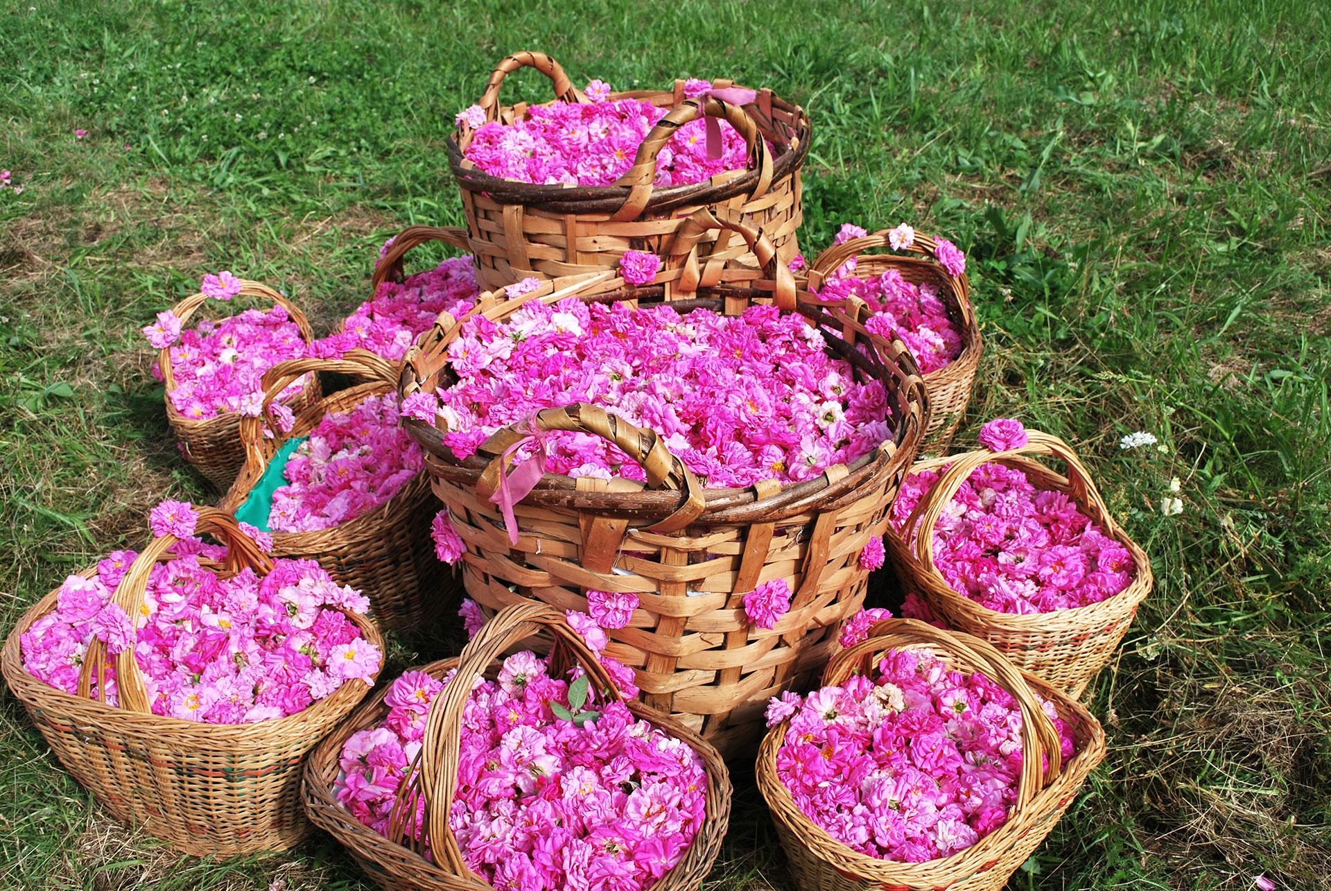 Rose Valley Festival
