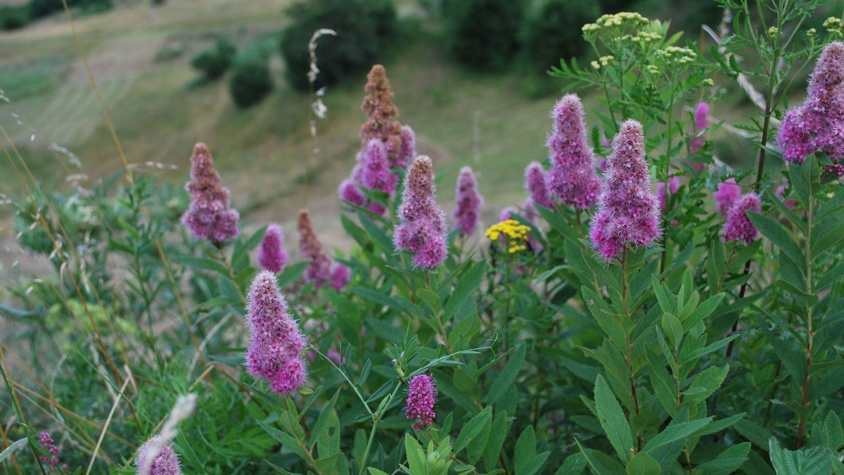 Mountain-Flowers-Bulgaria