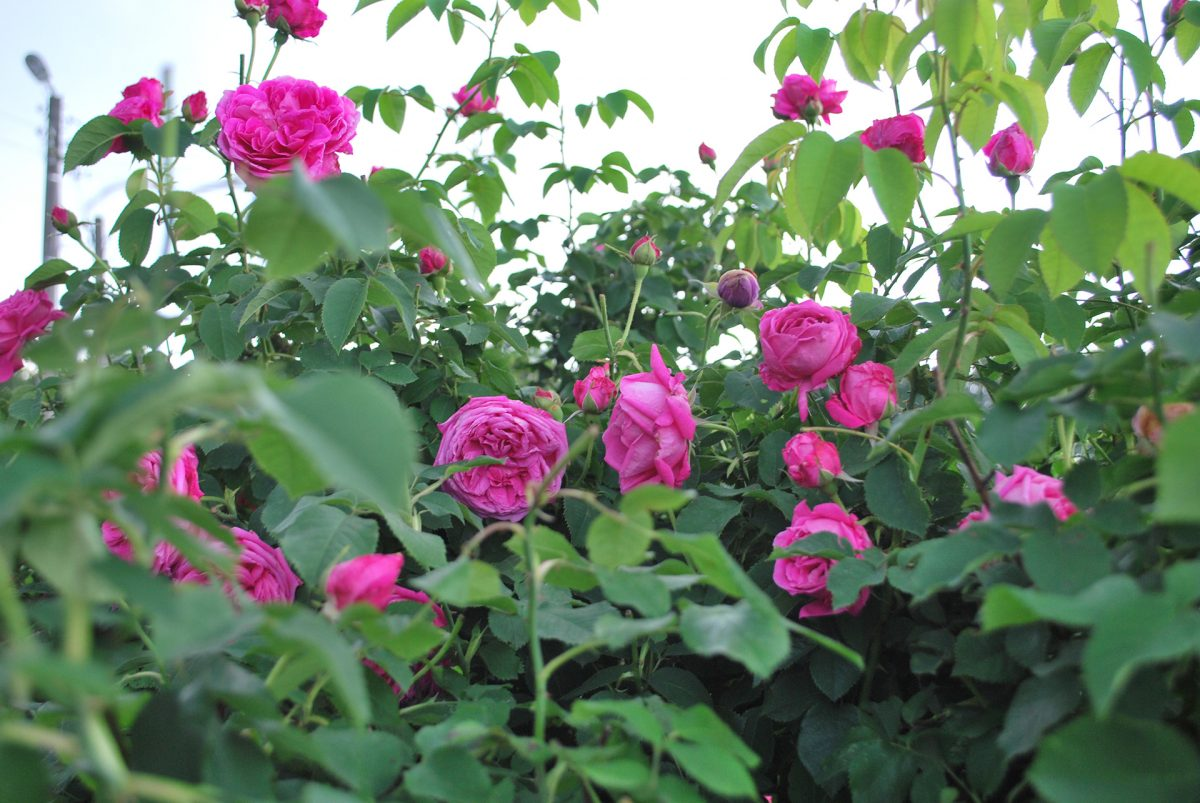 Rose-Field